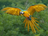 Bird: Blue-yellow-Amazon-Parrot-(Macaw,-Psittacidae)