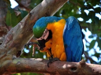 Bird: Blue-yellow-Amazon-parrot-on-branch-(Macaw,-Psittacidae)