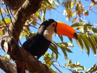 Bird: Red-billed-Toucan-on-branch