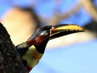 Bird: Toucan-on-tree-bark