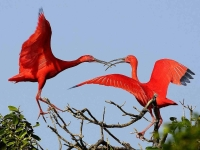Bird: Two-red-Ibises-squabble