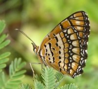 Butterfly: American-copper-butterfly-sideview