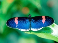 Butterfly: Blue-butterfly-backside