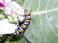 Butterfly: Butterfly-Monarch-Catapiller