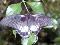 Butterfly: Purple-butterfly-backside