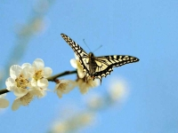 Butterfly: Sakura-butterfly-against-blue-sky
