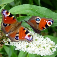 Butterfly: Two-Peacock-butterflies-on-white-Lilac