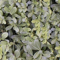 Collection\Adbe: Bush-with-leaves