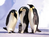 Collection\Animal Families: Emperor-penguins-around-young-one