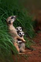 Collection\Animal Families: Meerkat-with-2-youngsters