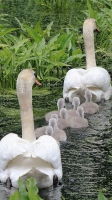 Collection\Animal Families: Swan-family