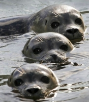 Collection\Animal Families: Three-seals