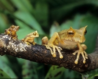 Collection\Animal Families: Two-small-frogs-and-a-larger-one