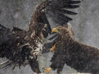 Collection\Beautiful Nature: Bald-Eagles-fighting-51
