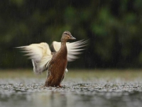 Collection\Beautiful Nature: Duck-flapping-71
