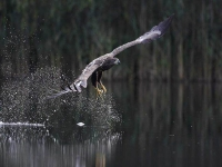 Collection\Beautiful Nature: Fishing-Eagle-catching-a-fish-45