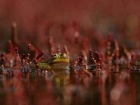 Collection\Beautiful Nature: Green-Frog-50