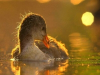 Collection\Beautiful Nature: Moorhen-Duck