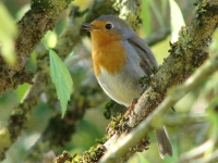 Collection\Beautiful Nature: Redbreast-53