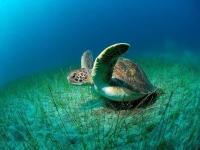 Collection\Beautiful Nature: Sea-Turtle-(Lepidochelys)