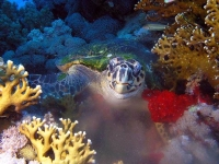 Collection\Beautiful Nature: Sea-Turtle-among-coral