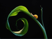Collection\Beautiful Nature: Snail-on-curly-leaf-64