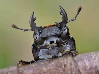 Collection\Beautiful Nature: Stag-beetle-52