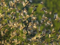 Collection\Beautiful Nature: Swarm-of-Birds-49