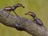 Collection\Beautiful Nature: Two-Stag-beetles-impressing-each-other-44