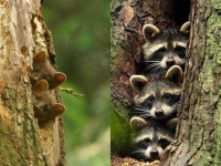 Collection\Beautiful Nature: Two-Tree-Martens-(left)-and-3-Raccoons-(right)-63