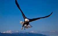 Collection\Msft\Birds: Bald-Eagle-(Haliaeetus-leucocephalus)