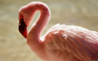 Collection\Msft\Birds: Flamingo-(Phoenicopterus)