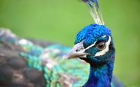 Collection\Msft\Birds: Peacock-Close-up
