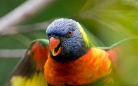 Collection\Msft\Birds: Rainbow-Lorikeet-(Trichoglossus-haematodus)