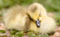 Collection\Msft\Birds: Sleeping-Duckling