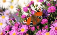 Collection\Msft\Insects: Butterfly-in-Pink-Flowers