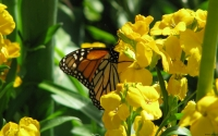 Collection\Msft\Insects: Butterfly-in-Yellow-Flowers