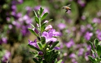 Collection\Msft\Insects: Buzzing-Bee-near-flowering-plant