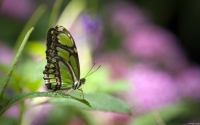 Collection\Msft\Insects: Green-Butterfly