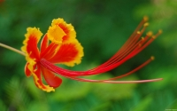 Collection\Msft\Insects: Pride-of-Barbados-Flower
