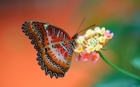 Collection\Msft\Insects: Red-Lacewing-Butterfly