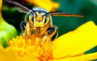 Collection\Msft\Insects: Yellow-jacket-Bee-(Vespula-maculifrons)-on-Yellow-Flower