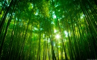 Collection\Msft\Landscapes: Bamboo-Forest-Japan