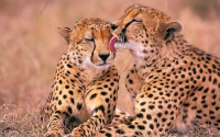 Collection\Msft\Mammals: Cheetah-licking-Cheetah-(Acinonyx-jubatus)