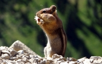 Collection\Msft\Mammals: Chipmunk-(Tamias)