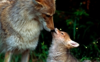 Collection\Msft\Mammals: Coyote-and-Pup-(Canis-latrans)