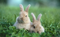 Collection\Msft\Mammals: European-baby-Rabbits-(Oryctolagus-cuniculus)