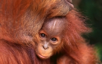 Collection\Msft\Mammals: Infant-Orangutan-and-Mother-(Pongo)