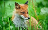 Collection\Msft\Mammals: Japanese-Fox-(Vulpes)
