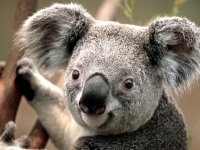 Collection\Msft\Mammals: Koala-(Giraffa-camelopardalis)